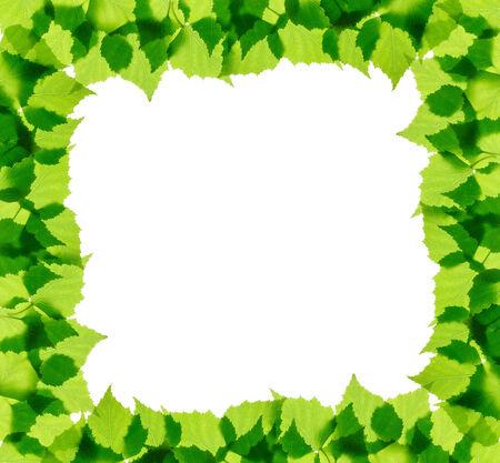 leaves frame: Abedul verde deja el marco aislado