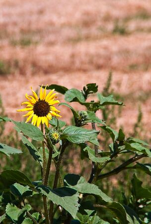 Wild sunflowers growing under the summer sun on the prairie. Stock Photo - 5318572