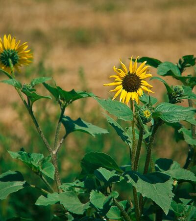 Sunflowers growing out on the prairie wild and free Stock Photo - 5318571