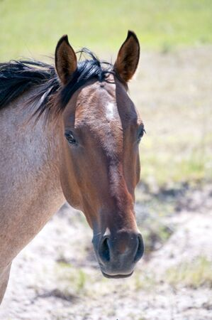 A strawberry roan horse looking at the camera.