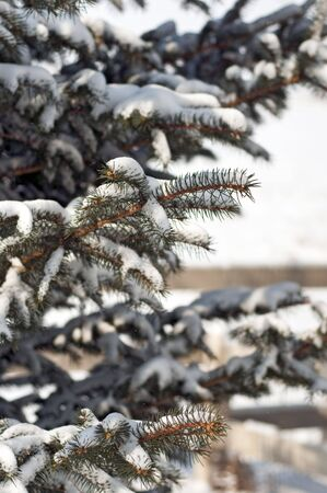 Accumulated snow on the branches of a Blue spruce tree.