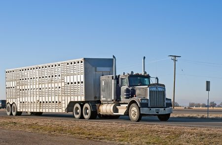 Local farmer uses his own stock truck and trailer to haul his cattle.