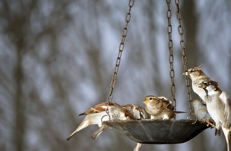 Rowdy bunch of sparrows crowding each other at a bird feeder.