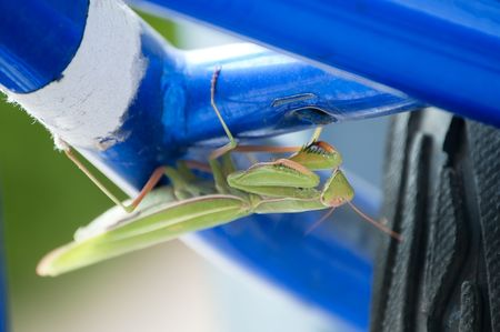 eye catcher: Praying Mantis hiding on the underside of a bicycle after laying its eggs.
