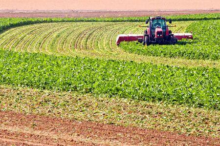 Die grüne ernten Farmer tops sein Zuckerrüben Getreide für Rinder Feed. Er kommt in später mit verschiedenen Geräten und Ernte der Rest des Werks von aus dem Boden. Standard-Bild