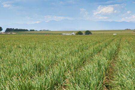 中央コロラド州ロッキー山脈を背景が付いている米国にタマネギ畑。