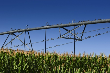 pivot: Flock of sparrows perched on a center pivot irrigation system in a cornfield.