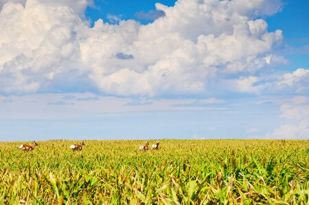 Pronghorn antelope running from a sorghum field where they have been grazing photo