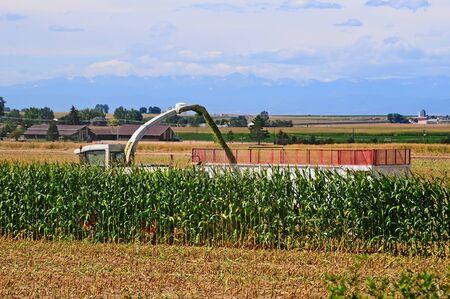 cosechadora: Casi ha terminado de cortar un campo de maíz durante la cosecha para alimentar el ganado.
