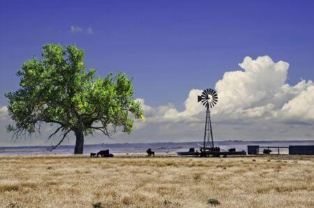 cottonwood  tree: Range cattle around a windmill water tank in northeastern Colorado, USA