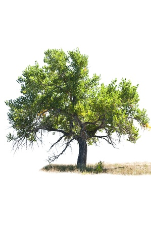 Cottonwood tree with wild grasses isolated against a totally white background