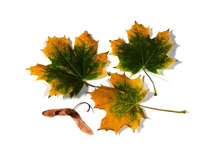 seedpod: Maple leaves starting to turn yellow in the fall and one double seed-pod. Stock Photo