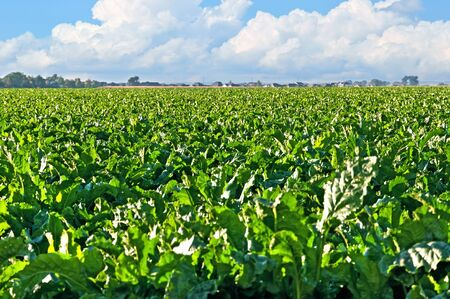 Sugarbeet Field Central Colorado photo