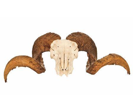 Rams Skull With Full Curl Horns Stock Photo - 15137424