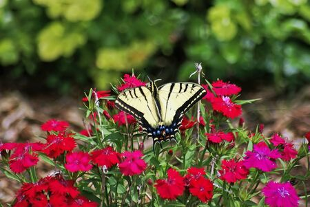 papilionidae: Swallowtail butterfly getting nectar from beautiful red flowers in the garden