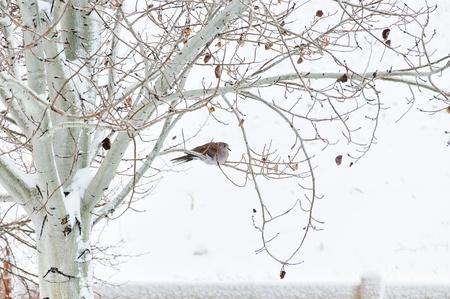 Turkse Tortel rustgebieden in een esp boom op een koude besneeuwde ochtend Stockfoto