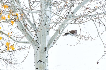 Collard dove roosting in an Aspen tree during a cold snowy morning Archivio Fotografico