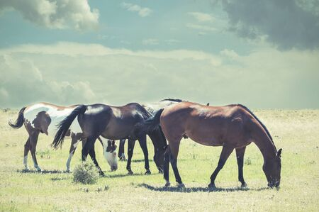 bevy: Four horses grazing while clouds build on the horizon. Retro filter look. Stock Photo