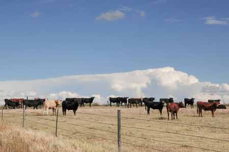 Young steers grazing on the plains of Colorado, USA