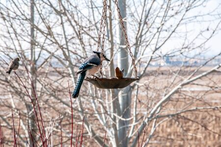 Bluejay feeding on birdseed in the late winter