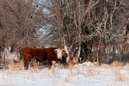 Hereford bull soaking up sun warmth on a cold winter day in the pasture.