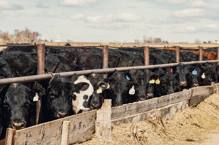 Beef steers eating to gain weight fattening for market. Stock Photo