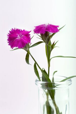 Sweet William flowers cut from the garden and placed in a glass vase