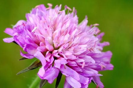 plantae: Close up of Red Clover flower