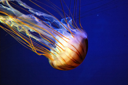 Blue jellyfish in deep blue water (Aurelia aurita)  photo