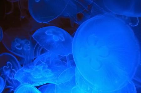 Blue jellyfish in deep blue water (Aurelia aurita) Stock Photo - 1543919