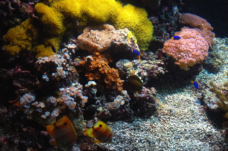 Coral reef with Copperband Butterfly (Chelmon rostratus) photo