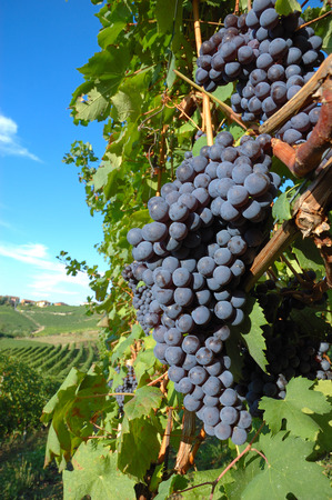 nebbiolo: Big red grapes wainting for the harvest; Nebbiolo variety, italian vineyards