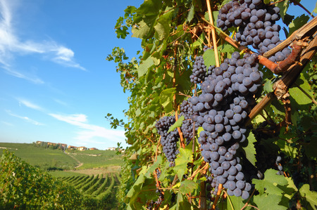 wine country: Big red grapes wainting for the harvest; Nebbiolo variety, italian vineyards
