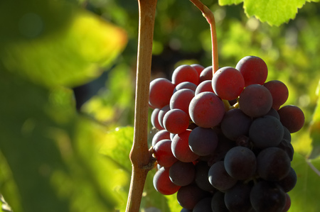 nebbiolo: Back-light view of red grapes wainting for the harvest; Nebbiolo variety, italian vineyards