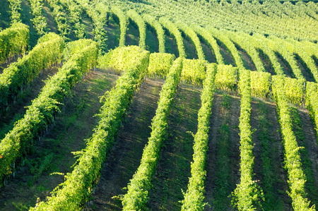 Vineyards panorama, Barbaresco hills, piemonte, Italy photo