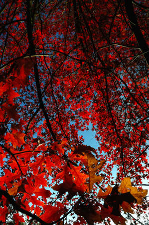 Upwards view of a tree with leafs in backlight , fall season photo