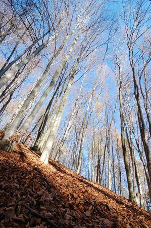 vertical orientation: Mountain Beech woods during fall season; vertical orientation