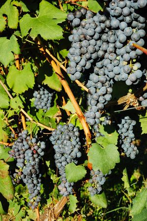 nebbiolo: red grapes waiting for the harvest; Nebbiolo variety, italian vineyards Stock Photo
