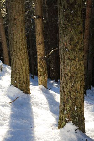 Pine trunks details, winter season, vertical orientation Stock Photo - 2335561