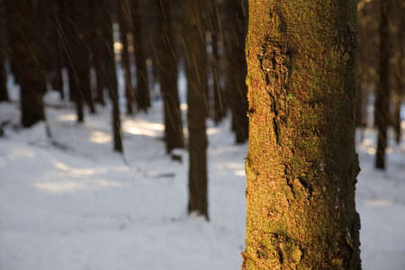 Pine trunk detail, winter season, horizontal orientation Stock Photo - 2344590
