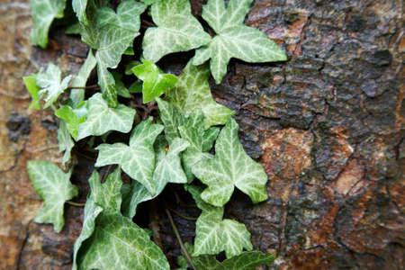 Green ivy growing on a dark bark photo