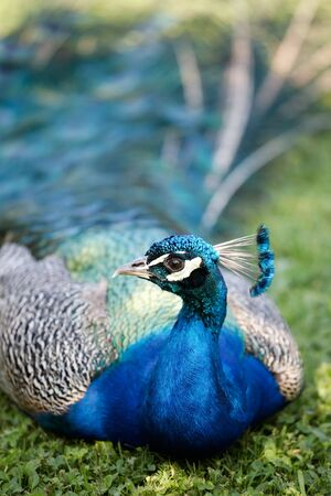 common peafowl: Male of Indian Peafowl, Pavo cristatus, also known as the Common Peafowl or the Blue Peafowl