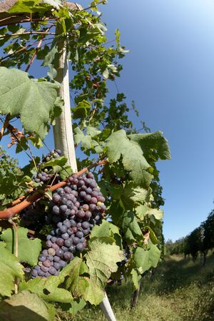 piedmont: Vineyards in summer, in foreground red grape fruits, Piedmont hills, north Italy. Stock Photo