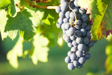 nebbiolo: Close view of a red grape (Nebbiolo grape varieties), Piedmont hills, north Italy. Stock Photo