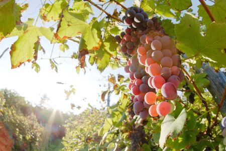 nebbiolo: Close view of red grapes (Nebbiolo grape varieties), Piedmont hills, north Italy.