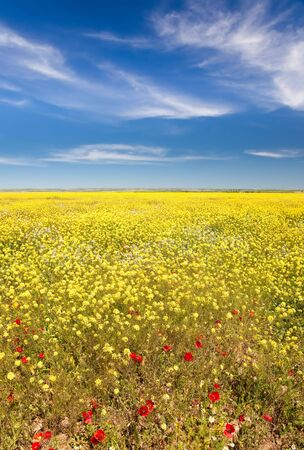 maroc: Landscape: spring season, field full of yellow flowers and red poppies. Maroc, Africa.