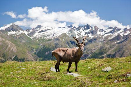 Alpine wildlife: Steinbock or Alpine Ibex (Capra Ibex). Gran Paradiso National Park, Valle dAosta, Italy.