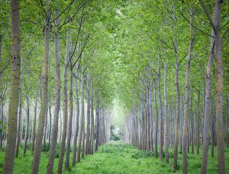 poplar: Poplar fustigate trees growing in rows, summer season. North Italy, Europe.