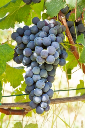 nebbiolo: Red grape bunches  Nebbiolo variety of grape is used to produce the finest Italian red wines like Barolo and Barbaresco  Stock Photo