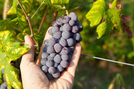 nebbiolo: Bunch of grapes held in the hand  Nebbiolo variety of grape is used to produce the finest Italian red wines like Barolo and Barbaresco